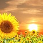 Sunflower — Stock Photo #34376975