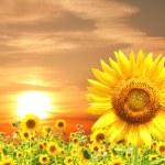 Sunflower — Stock Photo #34802799