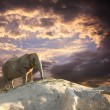 Foto de Stock  : Elephant at sunset