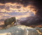 Elephant at sunset — 图库照片