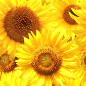 Seamless background with sunflowers — Stock Photo