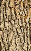 кора дуба — Стоковое фото