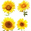 Collection of sunflowers — Stock Photo #43955215
