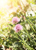 Flowers of clover — Stock Photo