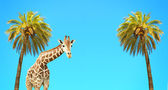 Coconut palms and giraffe — Stock Photo