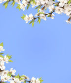 Blue sky and flower of cherry — Stock Photo