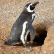 Magellanic penguin near its barrow — Stock Photo #12026296