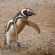 Magellanic penguin in Patagonia, South America - Stock Photo