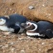 Magellanic penguin and its nestling in their barrow — Stock Photo