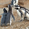 Meet the parents. Magellanic penguin with his girlfriend and par - Stock Photo