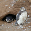 Nestling of Magellanic penguin during the moult — Stock Photo