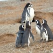 Meet the parents. Magellanic penguin with his girlfriend and par — Stock Photo