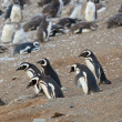 Colony of Magellanic penguins in Patagonia, South America — Stock Photo