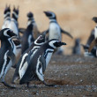 Magellanic penguins in Patagonia, South America — Foto de Stock