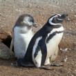 Magellanic penguin and its nestling near their barrow — Stock Photo