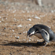 Curious Magellanic penguin in Patagonia, South America — Stock Photo