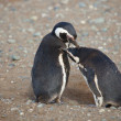 Two magellanic penguins in Patagonia, South America — Foto de Stock