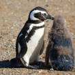 Magellanic Penguin helping its nestling to clear itself from inf - Stock Photo