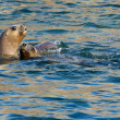 Two South American Sea Lions in the water — Stock Photo