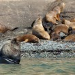 Large male sea lion with several females — Stock Photo