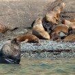 Large male sea lion with several females - Stock Photo