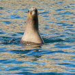 South American Sea Lion in the water — Stock Photo