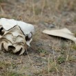 Stock Photo: Guanaco skull in Torres del Paine national park, Chile, South Am