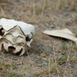 Guanaco skull in Torres del Paine national park, Chile, South Am — Foto de Stock