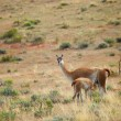 Stock Photo: Mother guanaco feeding its baby. Torres del Paine national park,