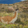 Stock Photo: Guanaco in Torres del Paine national park of Chile