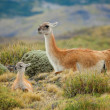 Guanaco family in Torres del Paine national park, Chile, South A — Stock Photo