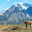 Stock Photo: Guanaco in Torres del Paine national park admiring mountains