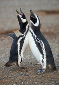Pair of magellanic penguins in Patagonia — Stock Photo
