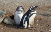 Pingwin magellański i jego pisklę w pobliżu ich barrow — Zdjęcie stockowe