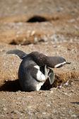 Scretching pingwinów magellana jego szyi — Zdjęcie stockowe