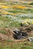 Couple of Magellanic Penguin in Patagonia, Chile — Stock Photo