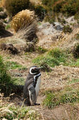 Magellanic Penguin in the grass. Seno Otway, Patagonia, Chile — Stock Photo