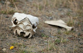 Guanaco skull in Torres del Paine national park, Chile, South Am — Stock Photo