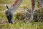 Pasturing guanaco in Patagonia, Chile — Stock Photo