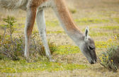 Guanaco in Torres del Paine national park, Chile, South America — Stock Photo
