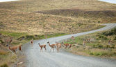 Guanacoes crossing the road in national park Torres del Paine, C — Stock Photo