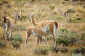 Mother guanaco feeding its baby. Torres del Paine national park, — Stock Photo