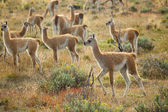 Many young guanacoes in Torres del Paine national park, Chile — Stock Photo