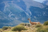 Mother guanaco with its baby. Torres del Paine national park, Pa — Stock Photo