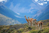 Three guanacoes in Torres del Paine national park — Stock Photo