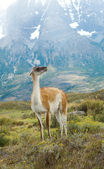 Guanaco in Torres del Paine national park of Chile — Stock Photo