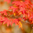Beautiful red japanese maple leaves at fall — Stockfoto