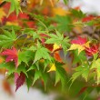Colorful Japanese maple leaves at fall — Foto Stock