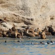 Large colony of sea lions in Patagonia, South America — Stock Photo