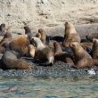 Colony of sea lions in Patagonia, South America — Stock Photo #12394371